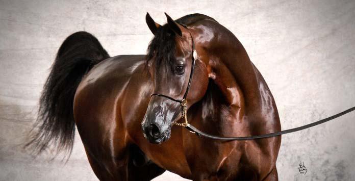 خيول العرب